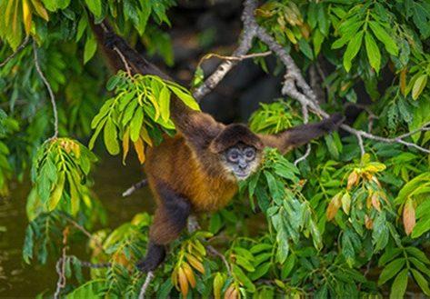 Nicaragua Monkey
